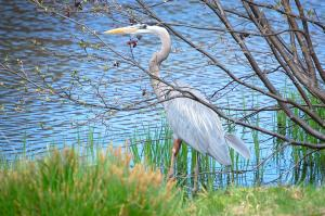 Group - Capturing the Great Blue Heron is growing