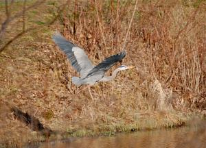 A New Group - Capturing the Great Blue Heron